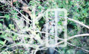 そざい畑,素材畑,カワセミ3