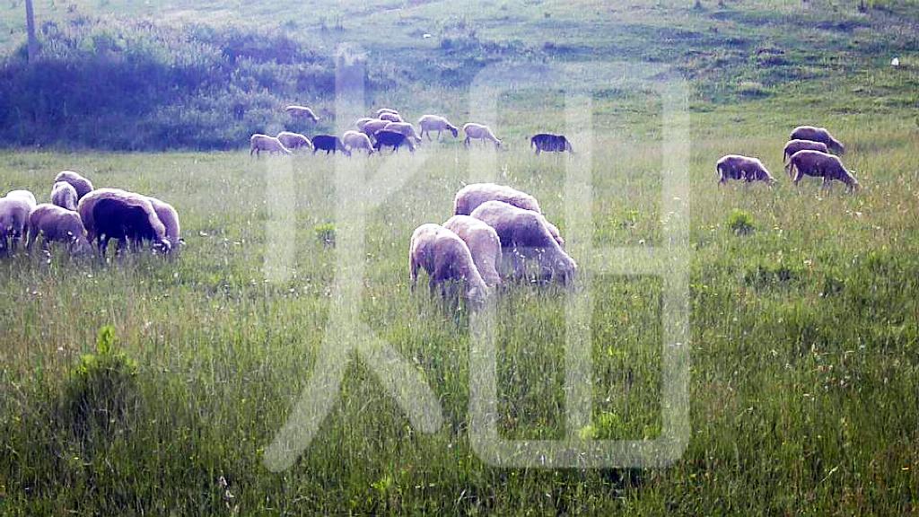 そざい畑,素材畑,スイスの羊達
