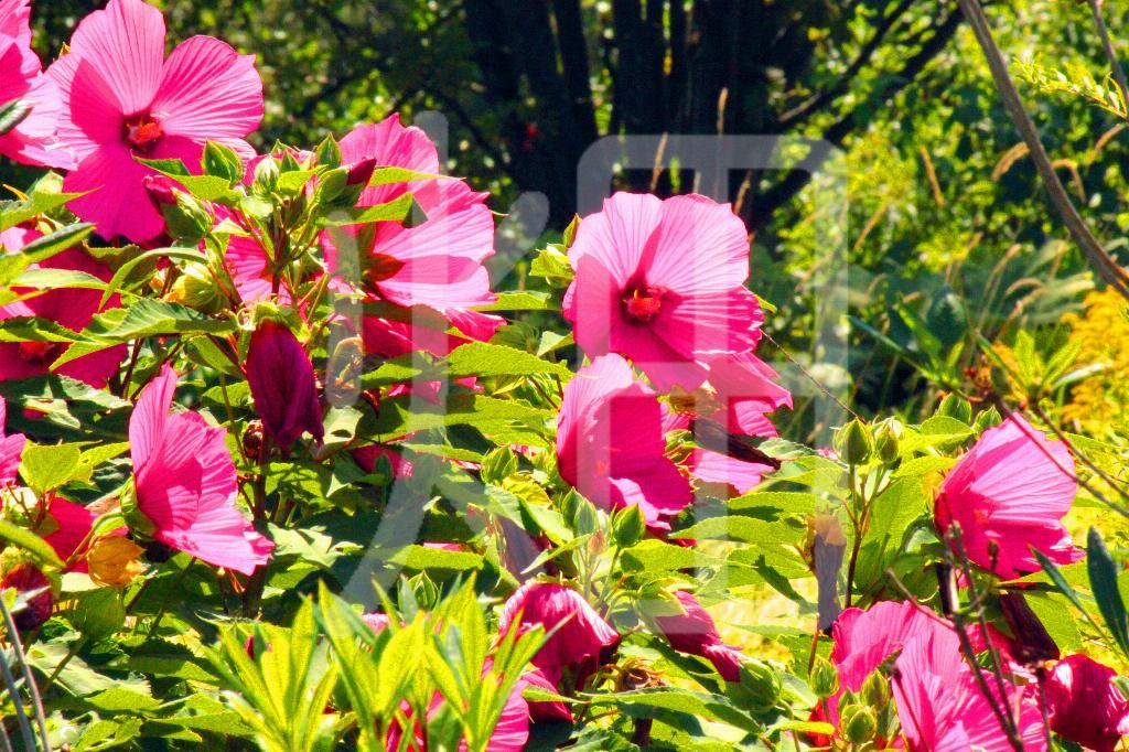 そざい畑,素材畑,サルビアの花