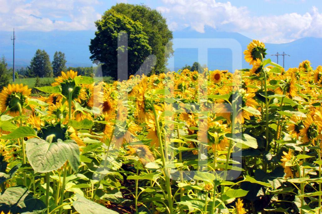 そざい畑,素材畑,向日葵と大きな木