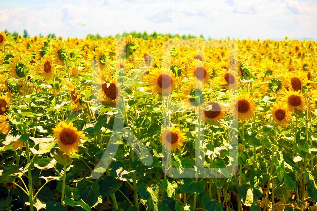 そざい畑,素材畑,向日葵畑