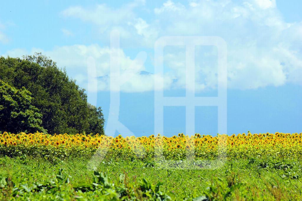 そざい畑,素材畑,向日葵と大きな木と雲
