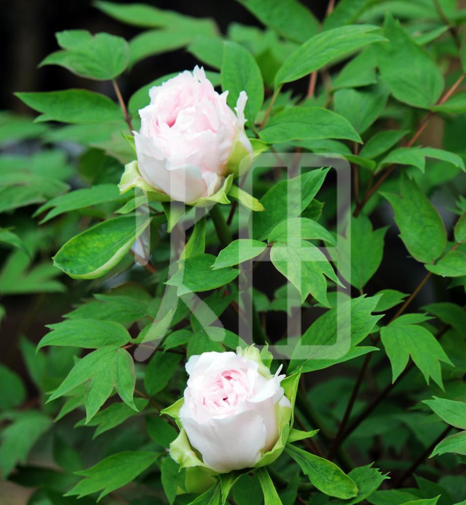 そざい畑,素材畑,白いバラの蕾