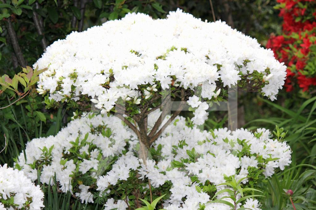 そざい畑,素材畑,白い花