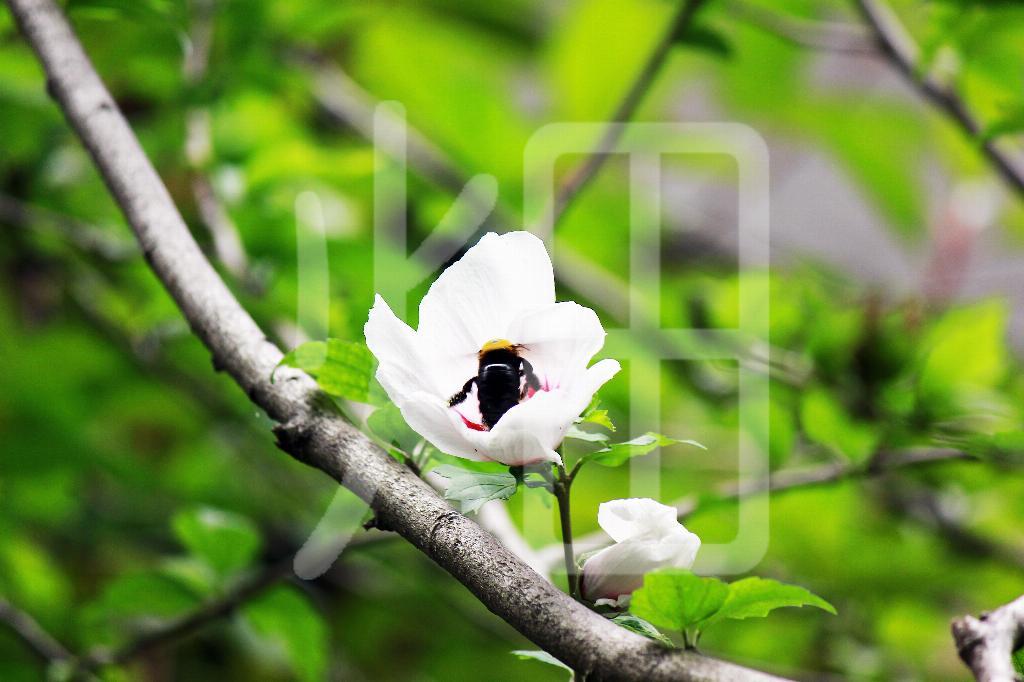 そざい畑,素材畑,白い花にハチ