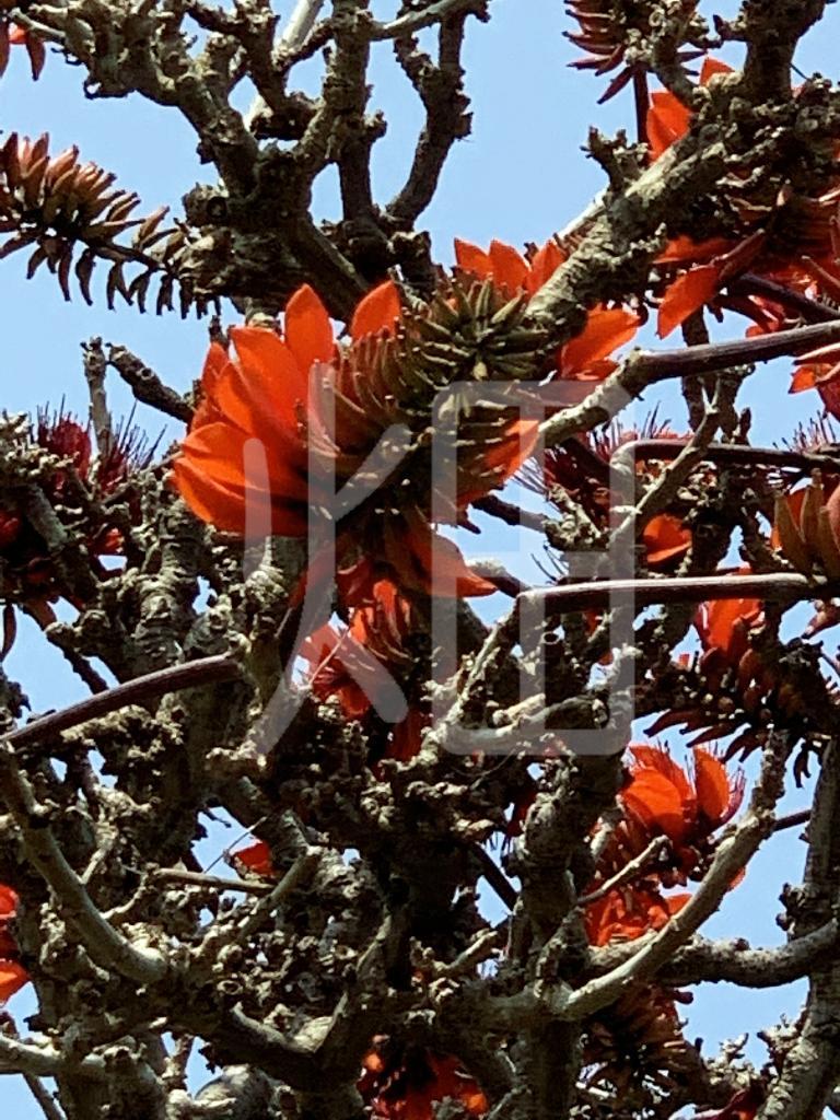 そざい畑,素材畑,沖縄の花木  デイゴ