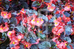 そざい畑,素材畑,赤い花