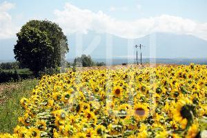 そざい畑,素材畑,夏 向日葵畑