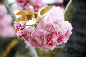 そざい畑,素材畑,八重桜
